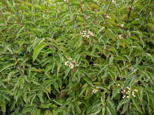 Bringing Nature Home: Native Shrubs for your Yard