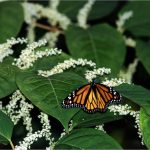 Monarch butterfly on a plant.